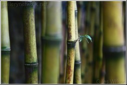 bamboo - new shoots