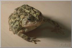 big frog 2