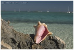 pink conch shell