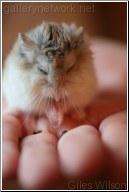 Pet Dwarf Hamster