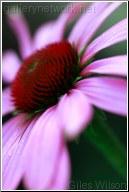 Echinacea head