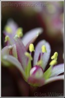 EUCOMUS-COMOSA-(PINEAPPLE PLANT)