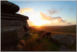 Moor pony at dawn