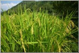 Rice - Tony Mu