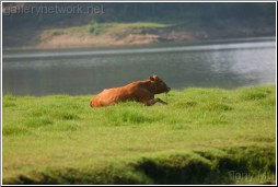 Cattle by the pond where Crested Ibis live - Tony Mu