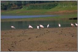 Endangered Bird Species Crested Ibis in its natura