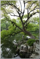 xihu tree on water - 渡渡鸟 .