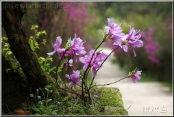 anhui pink flowers