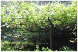 kiwi farm