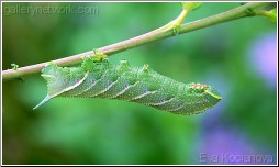 eyed hawk moth catapillar