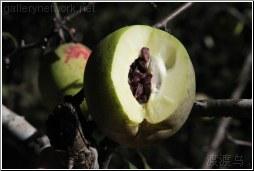 pear type fruit