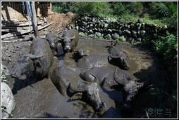 water buffalo home