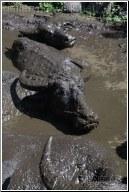 muddy water buffalo