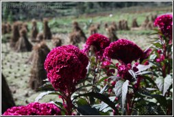 red flower wheat