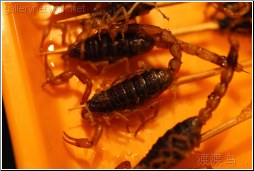 scorpion pincher