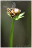 yellow syrphid
