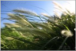 wavy summer grass