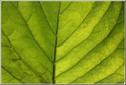 green leaf veins