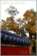 tiantan old trees