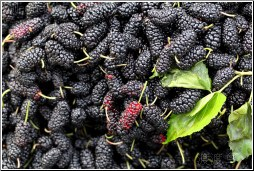 chinese mulberry