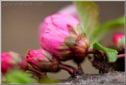 pink blossom bud