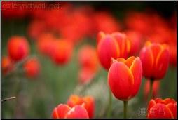 red tulip cluster