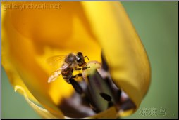honey bee inside tulip