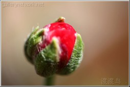 red poppy bud