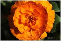 full orange flower
