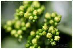 green blossom buds