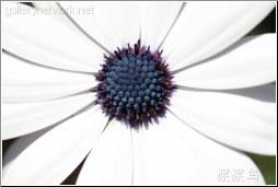 White flower black seeds
