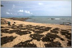 hainan dried seaweed