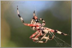 red swamp spider