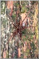 florida huge spider