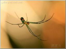 green swamp spider