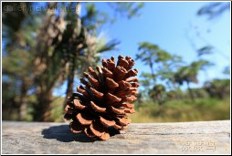 florida pinecone