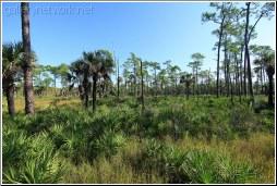 corkscrew pine trees