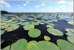 swamp lilys