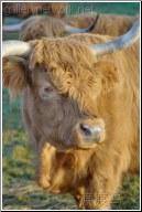 hairy cow head