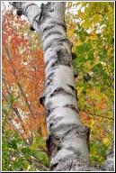 new hampshire birch tree