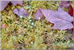 lichen moss dew