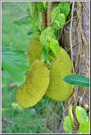 thailand jackfruit