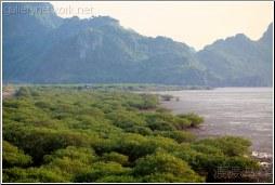 mangrove low tide