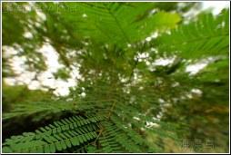 tree fern - 渡渡鸟 .