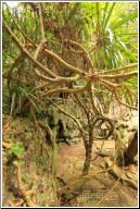dense vines - 渡渡鸟 .