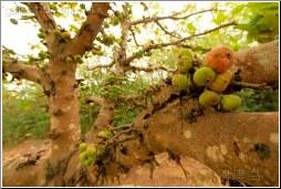 fig tree - 渡渡鸟 .