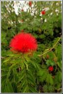 red flower - 渡渡鸟 .