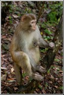 china wild monkey